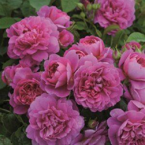Englische Rose Princess Anne pink von Weinsberger Rosen