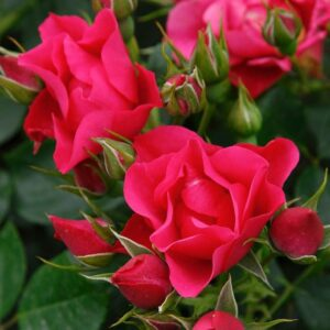 Rose Pink Forest Beetrose von Weinsberger Rosen