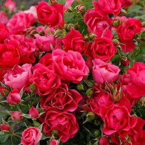 Rose Pink Forest Beetrose bei Weinsberger Rosenkulturen GbR