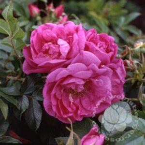 Buschrose rosa bei Weinsberger Rosen