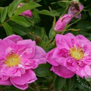 Rosa Rose bei Weinsberger Rosenkulturen GbR