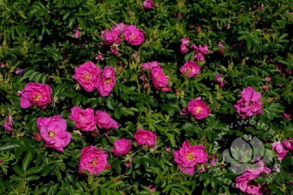 Edelrosen von Weinsberger Rosen