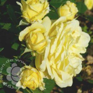 Rose Yellow Meilove von Weinsberger Rosen in Weinsberg