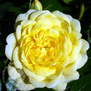 Rose Yellow Meilove bei Weinsberger Rosen in Weinsberg