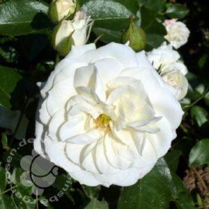 Beetrose Alabaster bei Weinsberger Rosen