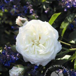 Beetrose Alabaster weiß bei Weinsberger Rosen