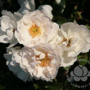 Kletterrose weiß Hella bei Weinsberger Rosenkulturen GbR