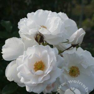 Kletterrose Hella weiß von Weinsberger Rosen