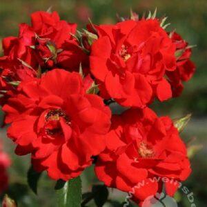 Strauchrose Billant Korsar bei Weinsberger Rosen
