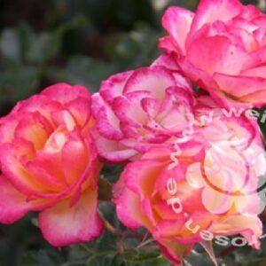 Strauchrose Comedy rosa von Weinsberger Rosen