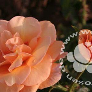 Beetrose Portoroz orange von Weinsberger Rosen