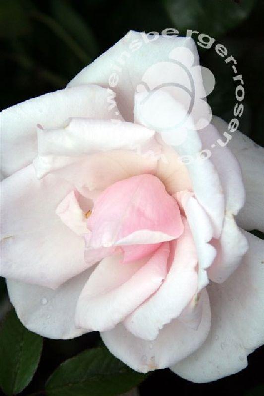 Blüte der Kletterrose New Dawn bei Weinsberger Rosen