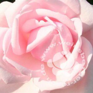 Blüte der Kletterrose New Dawn von Weinsberger Rosen